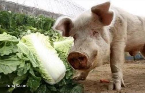 抖音表情:猪拱白菜